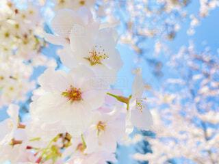 まっしろな桜の写真・画像素材[4733674]