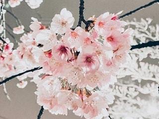 夜桜の写真・画像素材[4733669]
