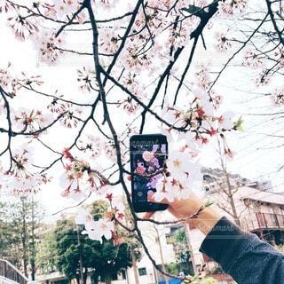 桜とスマホ越しの私の写真・画像素材[4733672]