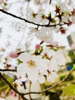 桜の観察の写真・画像素材[4733676]