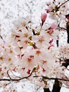 見上げたときの桜の写真・画像素材[4733678]