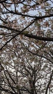 空と桜とメジロの写真・画像素材[4734565]