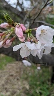 桜の花と虫の写真・画像素材[4734564]