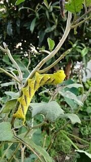 蛾 クロメンガタスズメの幼虫の写真・画像素材[4735322]