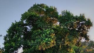公園の木と夕暮れに葉がとても綺麗の写真・画像素材[4764475]