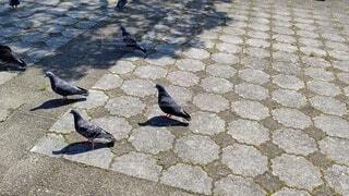 広い公園を歩く鳩たちの散歩の風景の写真・画像素材[4764493]