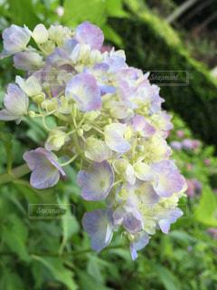 紫陽花の写真・画像素材[213549]