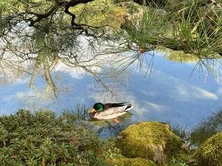 池を漂うカモの写真・画像素材[4179006]