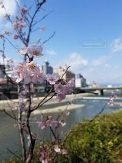 川と桜の写真・画像素材[4738076]