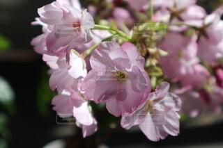 可憐に咲く一才桜の写真・画像素材[4745915]