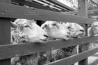 羊の写真・画像素材[212822]