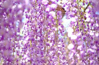 藤の花の写真・画像素材[212833]