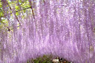 藤の花の写真・画像素材[212836]