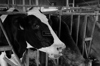 牛の写真・画像素材[212837]