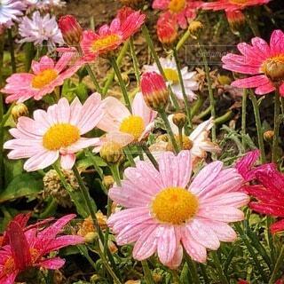 花のクローズアップ。コスモスの写真・画像素材[4833936]