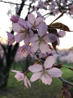 桜の写真・画像素材[4763039]