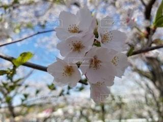 桜の写真・画像素材[4751111]