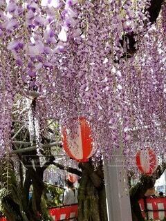 藤の花の写真・画像素材[4755795]