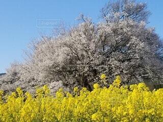 桜と菜の花の写真・画像素材[4761614]