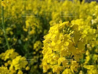 菜の花の写真・画像素材[4761613]