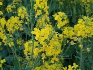 菜の花の写真・画像素材[4761617]