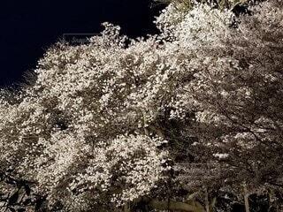 桜のライトアップ5の写真・画像素材[4761618]