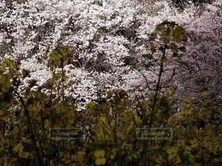 桜のライトアップの写真・画像素材[4761622]
