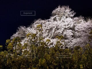 桜のライトアップ2の写真・画像素材[4761621]