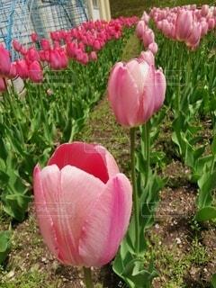 ピンクの花のグループの写真・画像素材[4754548]