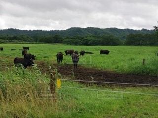 緑豊かな畑の上に立つ牛の群れの写真・画像素材[4764380]