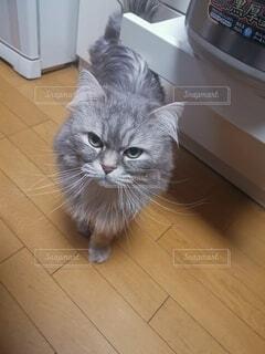 猫が床に立っているの写真・画像素材[4764390]