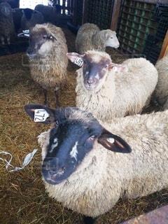 干し草の山の上に立つ羊の群の写真・画像素材[4764397]