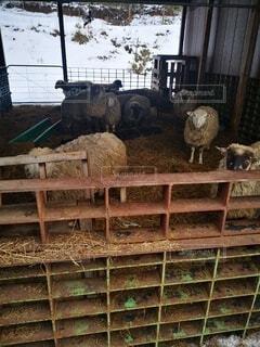 干し草の山の上に立つ羊の群の写真・画像素材[4764394]