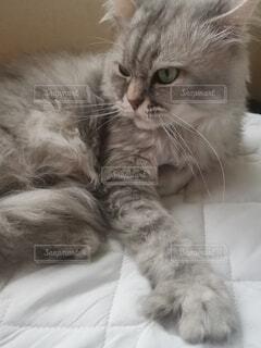 ベッドに横たわる猫のクローズアップの写真・画像素材[4795445]