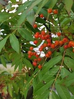 木になっている実の写真・画像素材[4800504]
