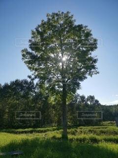 緑豊かな畑の真ん中にある木の写真・画像素材[4818806]