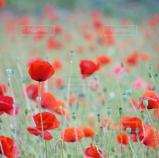 近くの赤い花のアップの写真・画像素材[1285707]