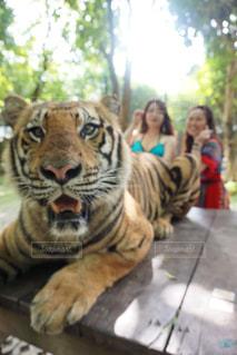 タイのプーケットで虎と触れ合いながら記念撮影の写真・画像素材[3203015]