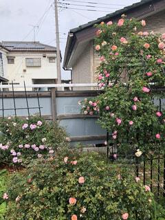 庭の薔薇の写真・画像素材[4761984]