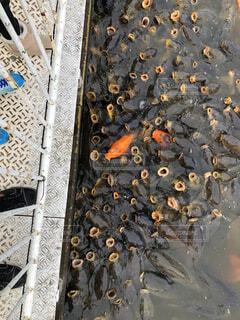 鯉の餌やりの写真・画像素材[4762028]