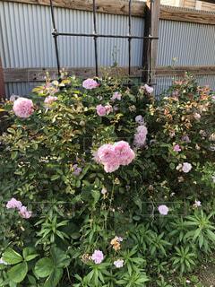 庭の薔薇の写真・画像素材[4768767]