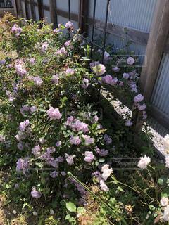 庭の薔薇の写真・画像素材[4768769]