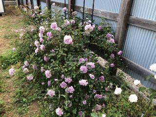 庭の薔薇の写真・画像素材[4768772]