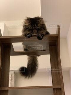 キャットタワーから覗く猫の写真・画像素材[4757792]