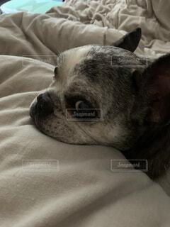 ベットに寝る犬の写真・画像素材[4769884]