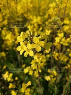 菜の花畑の写真・画像素材[4765134]