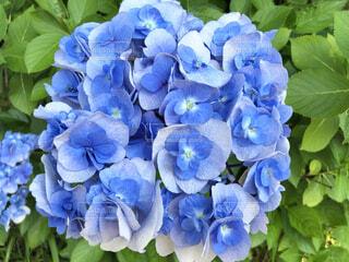 紫陽花の写真・画像素材[4762113]