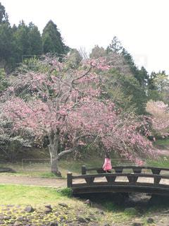 桜と橋と少女の写真・画像素材[3052219]