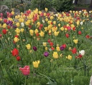 お庭のチューリップの写真・画像素材[4759859]