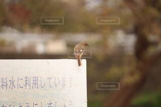 看板に止まるジョウビタキの写真・画像素材[4757843]